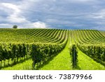 Beautiful Rows Of Grapes In...