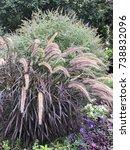 Purple Fountain Grass  ...