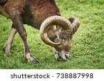 ram grazing on the slope of a... | Shutterstock . vector #738887998