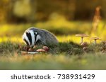 european badger is eating... | Shutterstock . vector #738931429