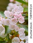 Small photo of Macro of white blooming Mountain Laurel flowers also called Calico Bush, Spoonwood Tree, Broad-Leaved Kalmia latifolia