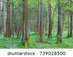 Old Alder Trees In Spring With...