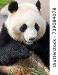 Small photo of Giant Panda