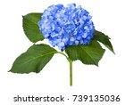 Nice Blue Hydrangea Isolated On ...