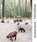 goats  pasture   Shutterstock . vector #739145020