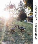 couple of ducks   Shutterstock . vector #739160014