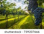 grape harvest | Shutterstock . vector #739207666