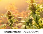 cannabis plant growing outdoors ... | Shutterstock . vector #739270294
