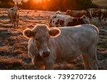 Cow Autumn Pasture  Warm Sun