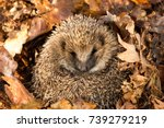 hedgehog  wild  native ... | Shutterstock . vector #739279219