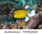 Small photo of Juvenile yellow boxfish ostracion cubicus