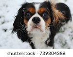 king charles cavalier dog | Shutterstock . vector #739304386