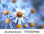 Blue Autumn Flowers Closeup....