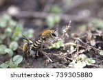 Wild Bees  Colletes Hederae ...
