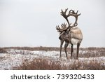 An old male reindeer with...