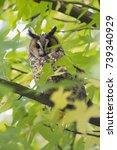 northern long eared owl in a... | Shutterstock . vector #739340929