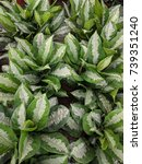 Small photo of Close up of Aglaonema leaves