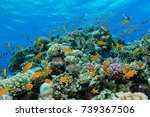 Shoal Of Anthias Over A Coral...