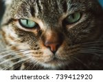 tabby cat portrait  close up... | Shutterstock . vector #739412920