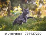 Small photo of Cute blue russian cat running in nature