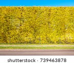 linden hedge in autumn with... | Shutterstock . vector #739463878