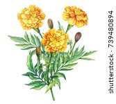 bouquet of flowers tagetes...   Shutterstock . vector #739480894