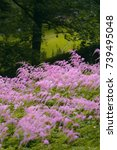 Small photo of Field of pink Astilbe flowers in the border 'Straussenfeder' (Thunbergii-Hybrid) Knoops Park, Bremen, Germany