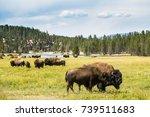 Bison  Buffalo  At Yellowstone...