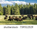 Herd Of Bison  Buffalo  In...