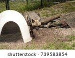 striped hyena called hyaena... | Shutterstock . vector #739583854
