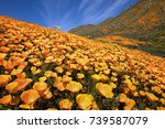 California Poppy Superbloom At...