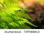 Ferns Leaf With Morning...