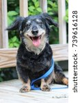 Stock photo reuben dachshund mix dog smiling happy love getting ready for a walk 739616128