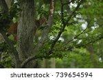 euroasian lynx in the bavarian...   Shutterstock . vector #739654594