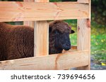 sheep in an enclosure for... | Shutterstock . vector #739694656