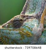 veiled chameleon  | Shutterstock . vector #739708648