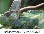 veiled chameleon  | Shutterstock . vector #739708660