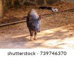 wild boar  sus scrofa   also... | Shutterstock . vector #739746370