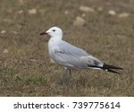 Small photo of Audouin's Gull (Larus audoiunii), subadult, Oualidia, Morocco.