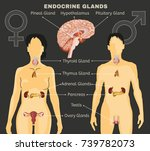 female and male endocrine... | Shutterstock .eps vector #739782073
