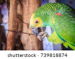 Small photo of Leg chained yellow-headed amazon is eating food. The yellow-headed amazon (Amazona oratrix), also known as the yellow-headed parrot and double yellow-headed amazon.
