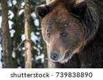 Small photo of old brown bear staring somewhere. curious animal look. focus on eyes