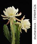 White Epiphyllum Flowers With...