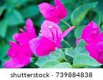 bougainvillea   Shutterstock . vector #739884838