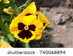 Small photo of vivid bicolored pansies in a park