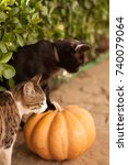 Stock photo funny cute kittens are playing with a pumpkin halloween party black kitten and a tricolor cat 740079064