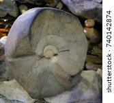 Small photo of ancient fossils Ammonites