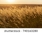 Steppe Feather Grass In The...