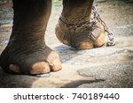 Small photo of Leg chained elephant and look very pitiful.