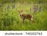 White Tailed Deer Fawn Stands...